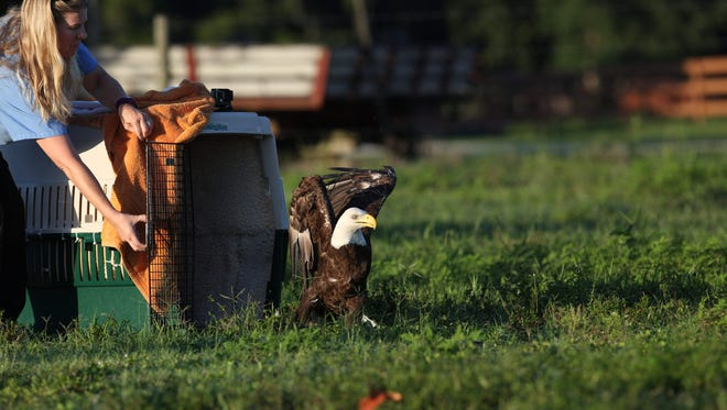 Ozzie the bald eagle and internet sensation was released back into the wild near his nest Wednesday.  He was released by the Clinic for  the Rehabilitation of Wildlife Hospital Director Heather Barron.  The release went very smoothly according to Barron.