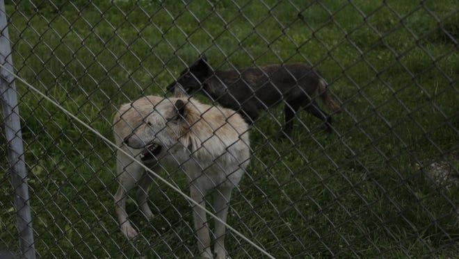 Wolf Park in Battle Ground