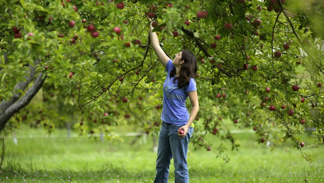 Kendra Ohlinger of Green Bay picks apples Sunday at Star Orchard in Kaukauna. Star Orchard is among the locations in the Fox Valley that offer pick-your-own apples.