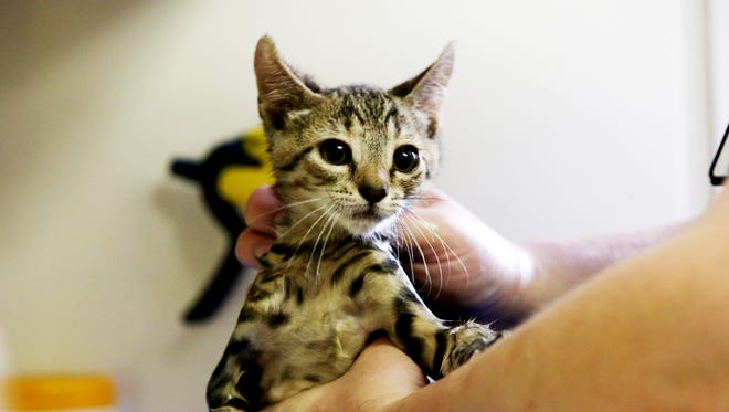 A kitten is bathed at the Fort Collins Cat Rescue & Spay/Neuter Clinic Friday, June 20, 2014.