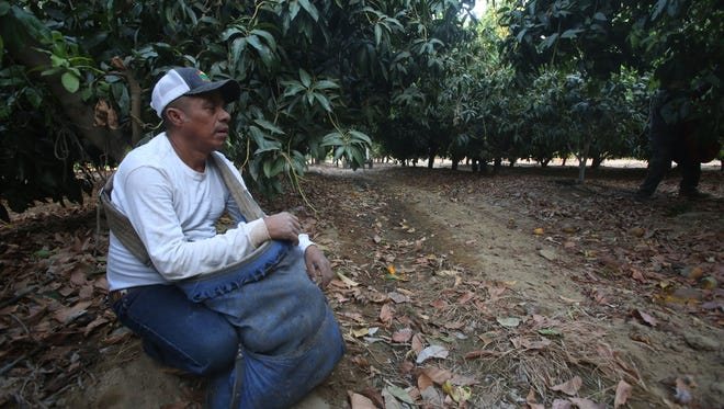 Francisco Alvarez Bautista takes a moment to rest from picking mangos at a ranch near Salton City in late August.