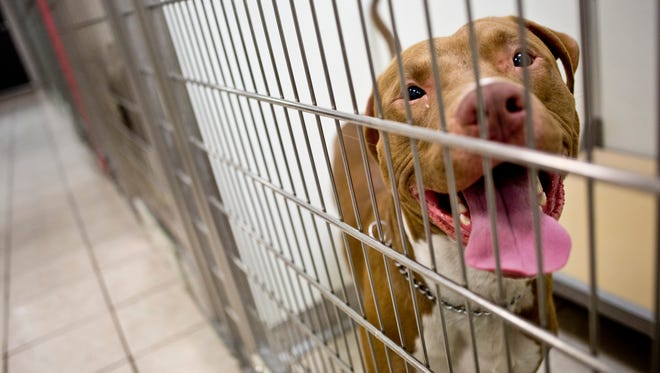 A pit bull being held as a stray is seen in a cage Tuesday, Dec. 8, 2015 at St. Clair County Animal Control in Port Huron Township. The City of Port Huron will be reviewing its policies regarding pit bulls after the fatal mauling attack on 22-year-old Rebecca Hardy.