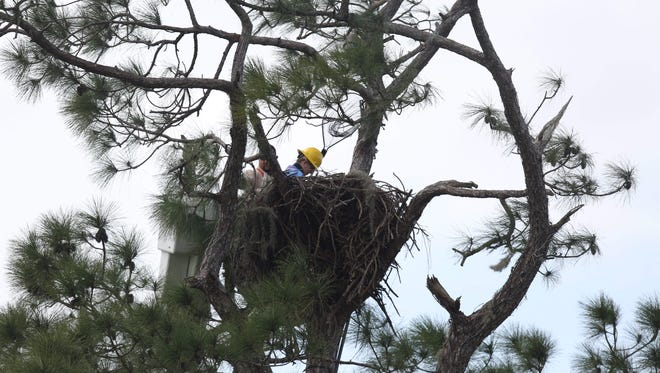 Dr. Heather Barron, the hospital director for the Clinic for the Rehabilitation of Wildlife removed one of the Southwest Florida Eagle  Cam eaglets on Tuesday.  It was tethered to the nest but what she said was monofilament line. It is being transferred to CROW for treatment.  There is no known date for transfer back to the nest or how long it will take to treat.