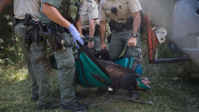 Members of the FWC prepare to weigh a 260 pound bear that they captured at Three Oaks Elementary School on Wednesday.
