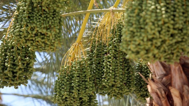 Dates in a date farm near the Islamic Society of of Palm Springs on Friday, June 10, 2016 in Coachella.