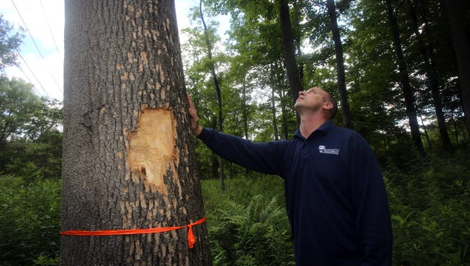 Trevor G. Hall, an arborist with Bartlett Tree Services, looks at a tree in Cortlandt that has been killed by the emerald ash borer. Hall says that the beetle has killed 60 million trees since its discovery in Michigan in 2002.