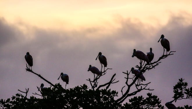 Roseate Spoonbills roost for the night at a bird rookery inside Ten Thousand Island off of Everglades City, Everglades National Park.