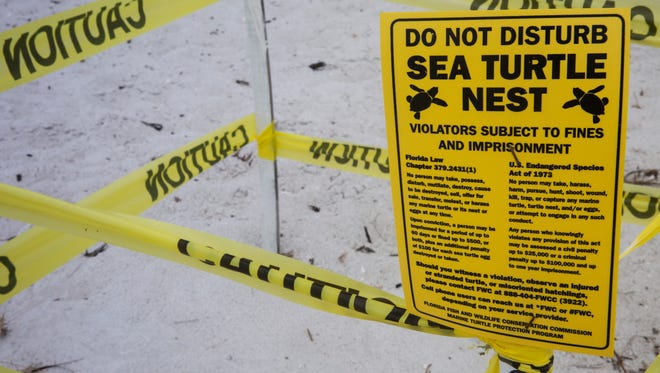 A sea turtle nest is marked on the beach near Naples Pier. Every year female loggerhead sea turtles begin arriving to lay their eggs in May and continue nesting through August. Naples, which has over 400 nests this season so far, has had five issues of stolen eggs over the past six weeks. (Nicole Raucheisen/Naples Daily News)