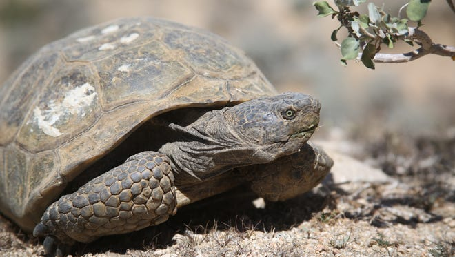 Desert tortoises are protected as a part of the Coachella Valley Multiple Species Habitat Conservation Plan.