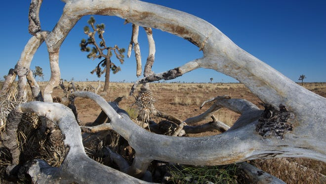 A dead Joshua tree frames another that has lost a number of branches in the Queen Valley area of Joshua Tree National Park.
