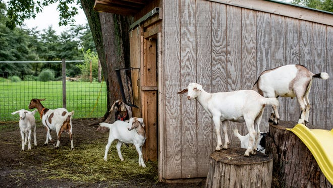 Goats relax in the pen on the property of Paul and Annette Churchill in September 2016 in Port Huron Township. The couple's livestock in part inspired new rules approved by the township board that year.
