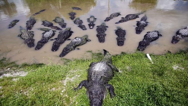 Alligators wait to be fed at Wooten's Everglades Airboat Tours in Ochopee on Wednesday, July 20, 2016.