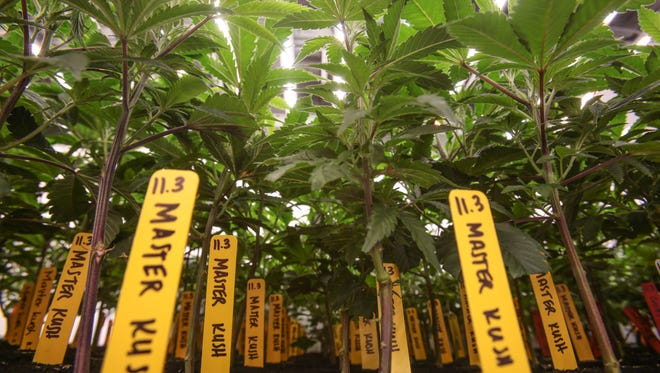 Marijuana plants grow under LED lights at the MedMen cultivation facility in Sun Valley near Los Angeles, on Tuesday, November 15, 2016.