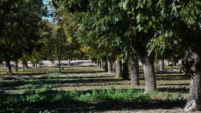 Pecan trees in a Mesilla Valley grove in November 2016.