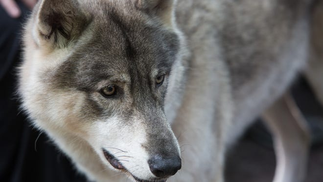 """Dancer the wolfdog is one of many rescued abused, neglected or abandoned exotic animals at the Shy Wolf Sanctuary in Naples, Fla. The Spirited Painter is hosting a """"Painting with Wolves"""" event at 5:45 p.m. Friday with proceeds from the event benefiting the sanctuary."""