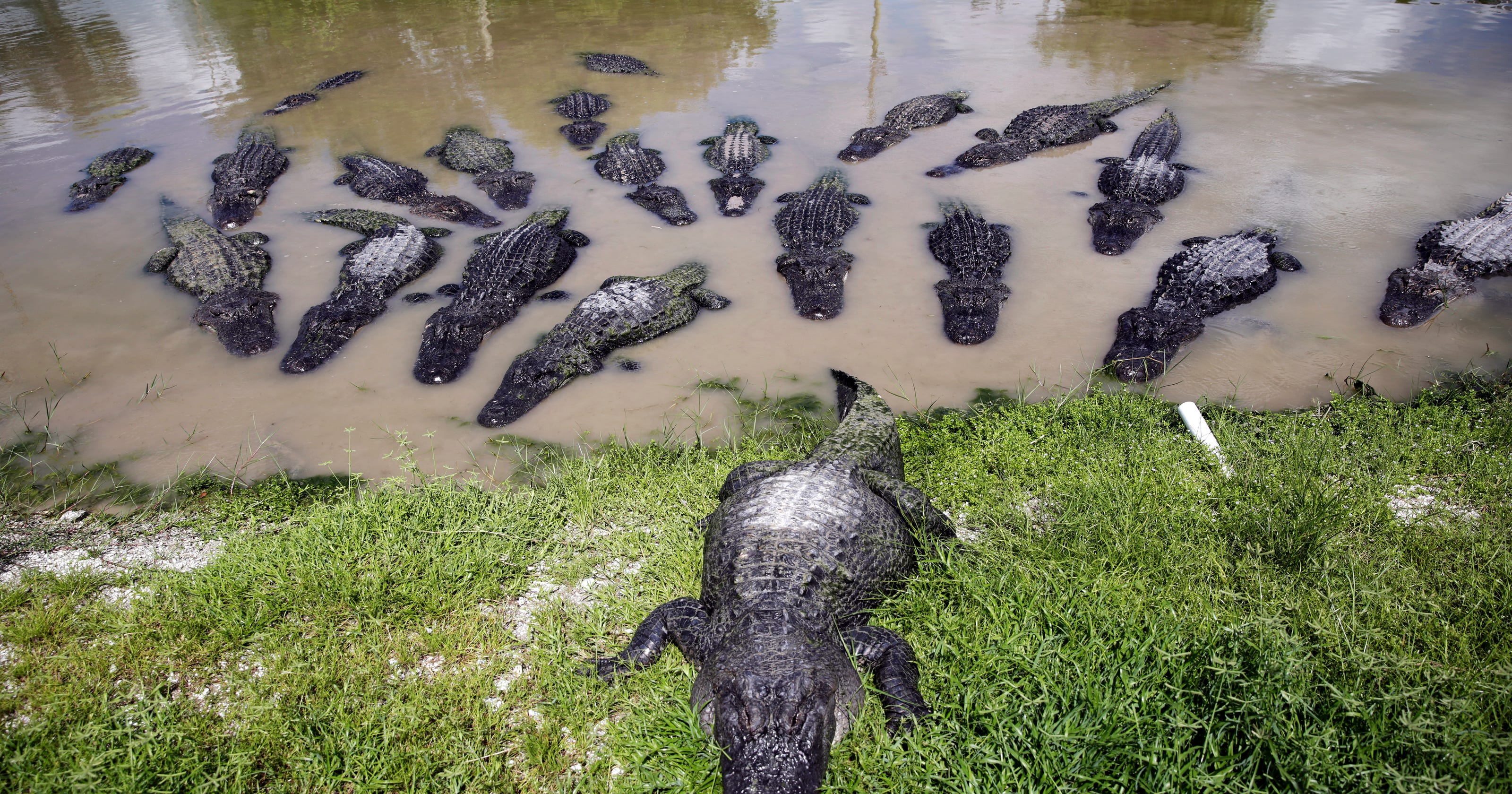 11 places to see alligators in Southwest Florida