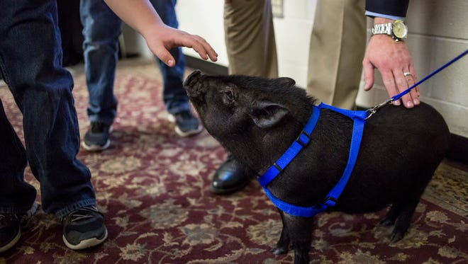 Students pet Pumbaa the pig Friday, March 31, 2017 at Keewahdin Elementary School in Fort Gratiot.