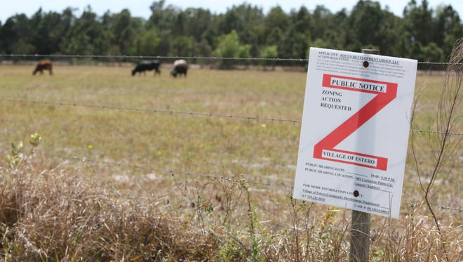 Cows graze on a property that could be the rezoned to be the future site of a development. The land is within Estero's designated village center area.