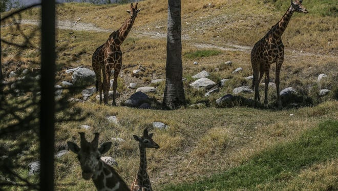 A baby giraffe and adults at The Living Desert on Thursday, May 25, 2017, in Palm Desert.