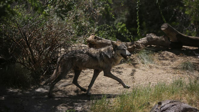A Mexican Wolf at the Live Desert Desert on Thursday, May 25, 2017 in Palm Desert.