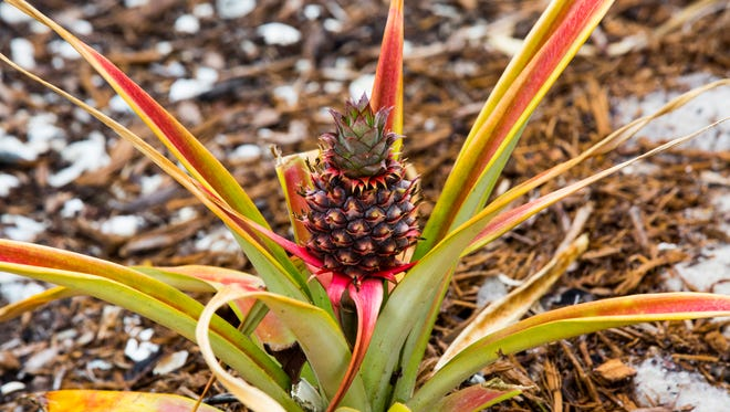 Celebrate pineapples during an inaugural Marco Island Pineapple Festival from 11 a.m. to 2 p.m. Saturday.