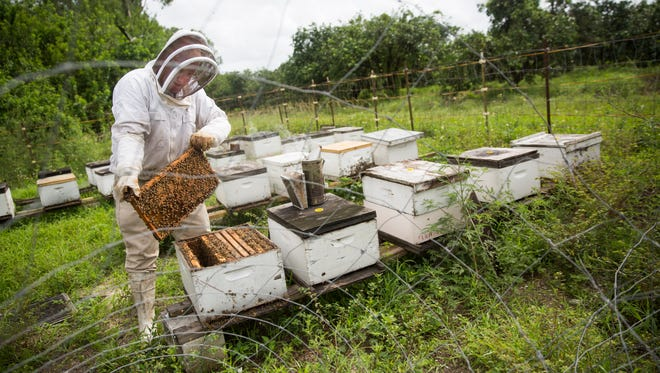 Tom May takes a movable frame out of one of his bee hives on Tuesday, June 20, 2017 at the South Naples Citrus Grove. May has hives across southwest Florida.