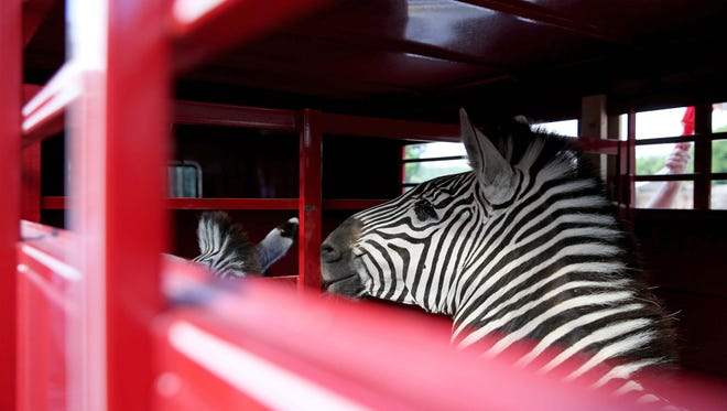 Two male Plains zebras were immobilized for physicals before being loaded on to a trailer to be sent to the Scovill Zoo in Decatur, Illinois on Thursday, Aug. 3, 2017. Veterinarians from the University of Tennessee College of Veterinary Medicine, along with Zoo Knoxville staff and representatives from Scovill were present.