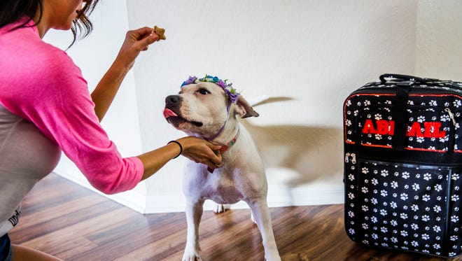 Abigail the pit bull in her Fort Myers home on Tuesday, Aug. 22, 2017. Abigail heads to Hollywood next month for the American Humane Hero Awards.