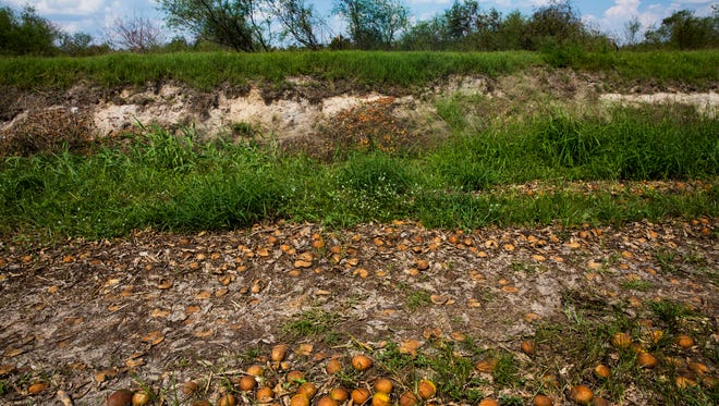 Rotten oranges cover the ground and embankments at one of Paul Meador's Valencia groves near Immokalee on Thursday, Sept. 28, 2017. Floodwaters caused the crop to float and accumulate in certain parts of the property.