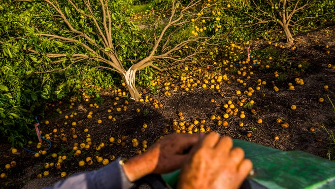 "Martin Mason, 75, examines his citrus trees on his farm in Fort Denaud on Friday, Sept. 29, 2017. Many of his crops were severely damaged by Hurricane Irma. Mason has been a citrus grower for 5 years. ""This was the year I was about to break even, and now I'm back at square one,"" he says."