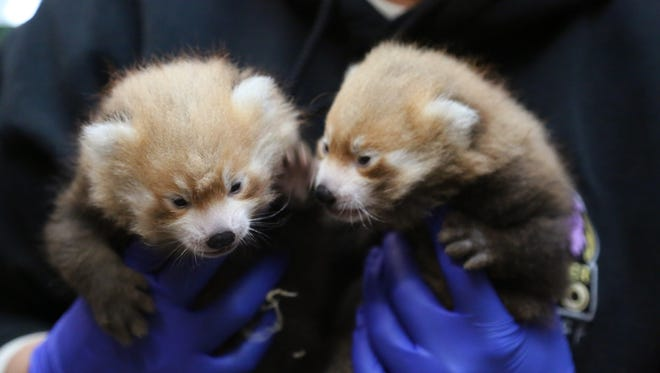 The Denver Zoo is asking for help naming its two new red panda cubs. Online voting ends Thursday.