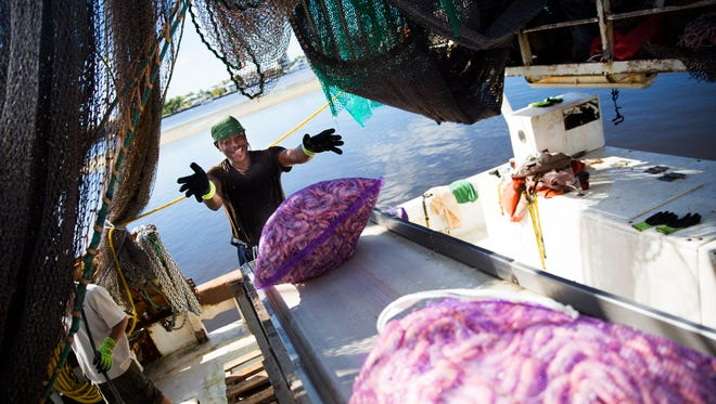 """Shaun Hunte tosses an onion bag filled with pink shrimp off of the boat """"Miss Maddie"""" and onto a conveyor belt on Wednesday, November 8, 2017 near Matanzas Harbor. The Ostego Bay Foundation Marine Science Center tours the shrimp boats on the waterfront on their Working Waterfront Tour."""