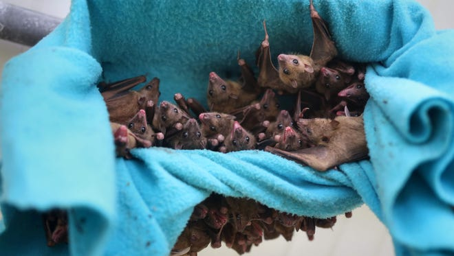 Fruit bats are pictured hanging in a bat shelter cage.