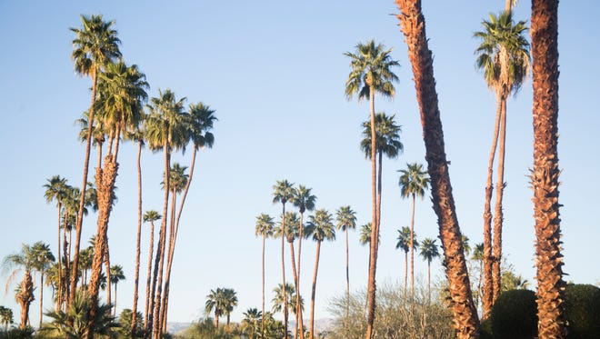 An Indian Wells councilman is pushing action to hold residents accountable to take care of their end-of-life Palm Trees as they are property damage threats. Old trees have damaged cars, etc. in the past and he wants residents to be required to remove trees or be fined