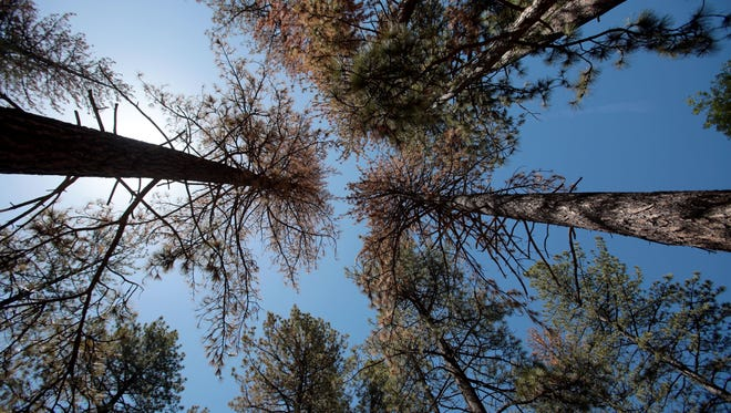The brown needles on these pine trees in Idyllwild in 2015 indicate a bark beetle infestation. California's long drought has weakened the trees' natural defenses, making them vulnerable to the pests.