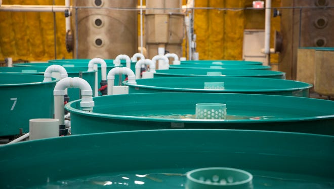 Large tanks will eventually house the nursery for AquAdvantage Salmon at the AquaBounty Technologies facility in Albany. Several different tanks in each stage of the growth cycle help raise the fish from egg to when they are processed.