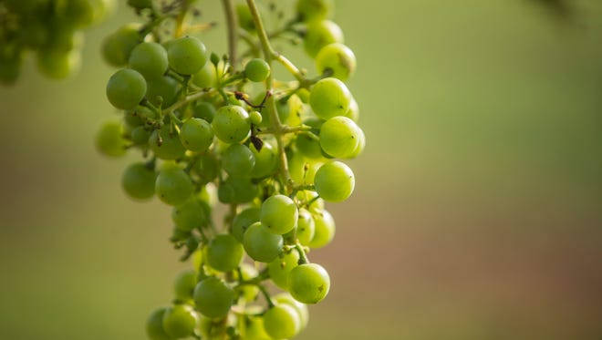 Grapes grow on a vine at Welch Winery on the north side of Prairie Creek Reservoir.
