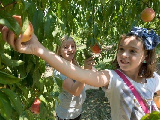 From the left, Taylor Minnick, age 9, and Jessica Ryan, age 9, of Fairview Township, pick peaches for the first time at Brown's Orchards & Farm Market Pick-Your-Own in Springfield Township.