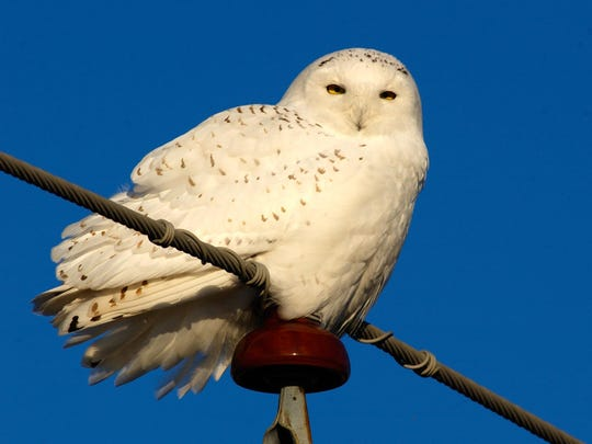 A snowy owl watches for rodents or an unlucky duck