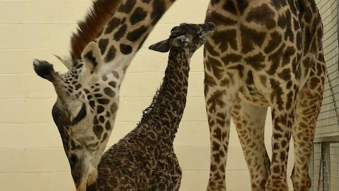 Tessa's newborn calf stands.