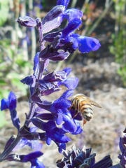 Bee foraging on mystic spires salvia.