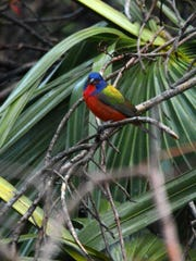 A painted bunting adds a splash of color along the