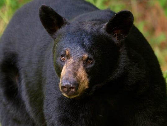 Big eared black bear