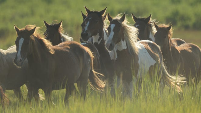 This file photos shows the southern herd of Chincoteague ponies.