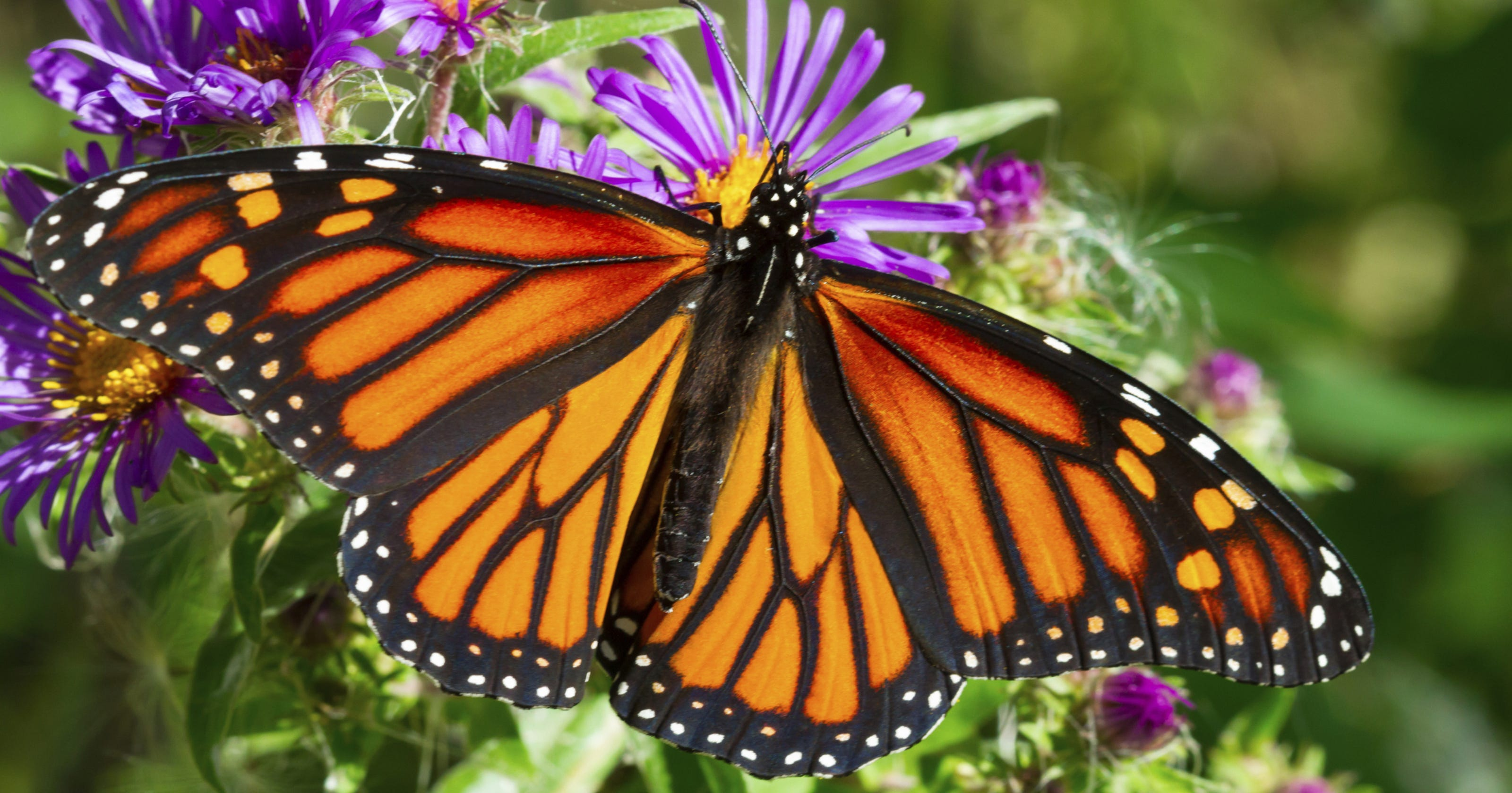 Image result for monarch butterfly photos free