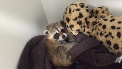 Two raccoons are settled into an animal intensive care after arriving at the von Arx Wildlife Hospital.