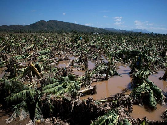 Banana trees lie toppled in mud and floodwaters at