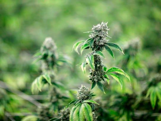 In this June 28, 2017, file photo, marijuana plants