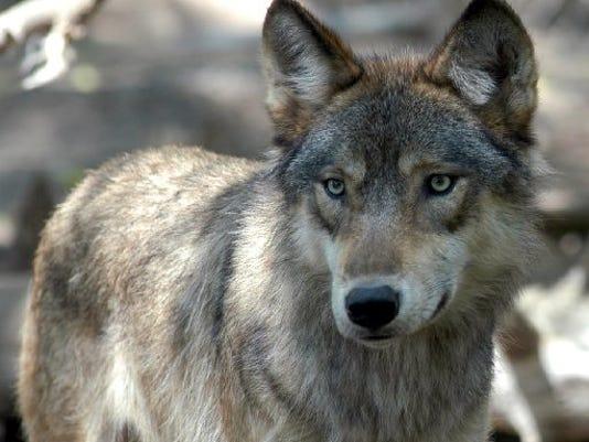 AP_Wolf_Hunt.jpg
