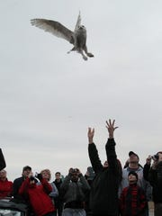 Marge Gibson pushes a Snowy owl up into the air as